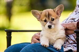 A Corgi Puppies